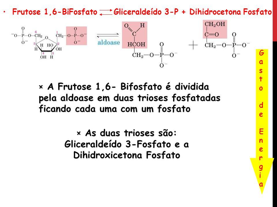 Frutose 1,6-BiFosfato Gliceraldeído 3-P + Dihidrocetona Fosfato