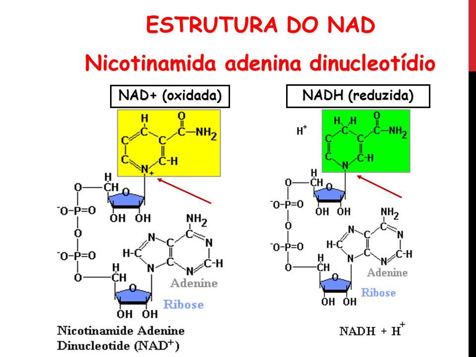 Nicotinamida adenina dinucleotídio