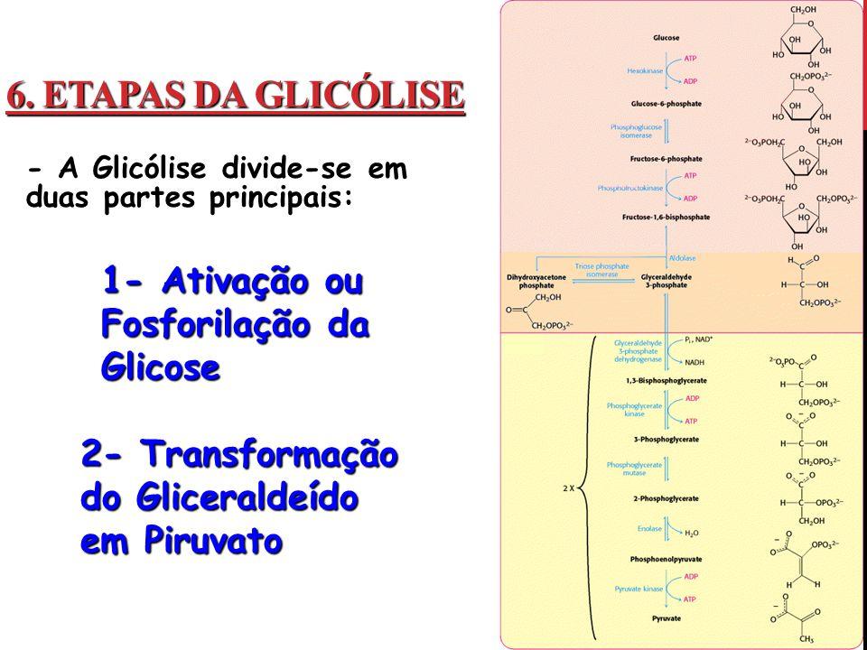6. Etapas Da Glicólise 1- Ativação ou Fosforilação da Glicose