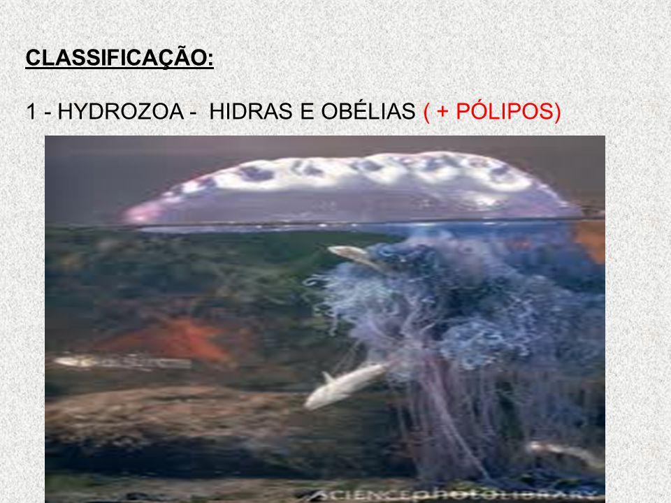 CLASSIFICAÇÃO: 1 - HYDROZOA - HIDRAS E OBÉLIAS ( + PÓLIPOS)