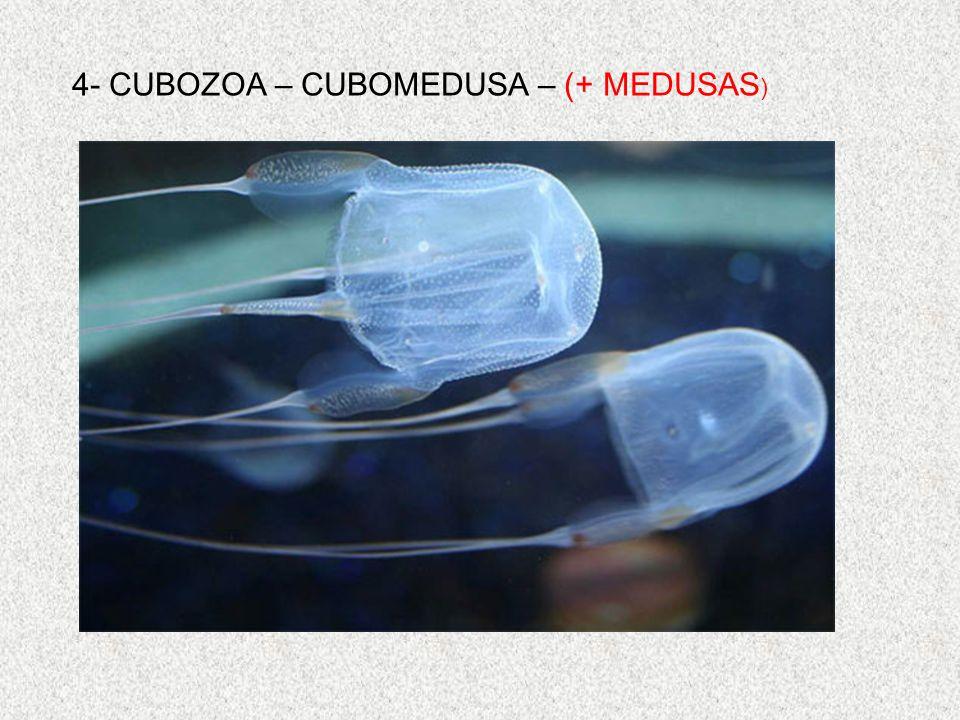 4- CUBOZOA – CUBOMEDUSA – (+ MEDUSAS)