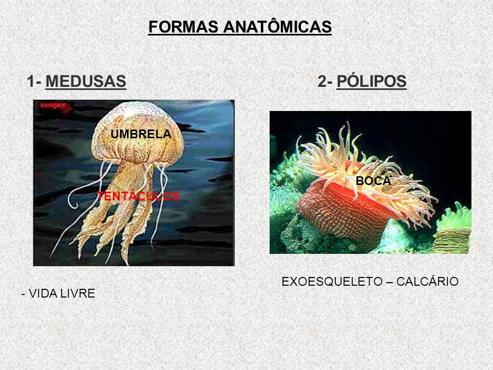 FORMAS ANATÔMICAS 1- MEDUSAS 2- PÓLIPOS UMBRELA BOCA TENTÁCULOS