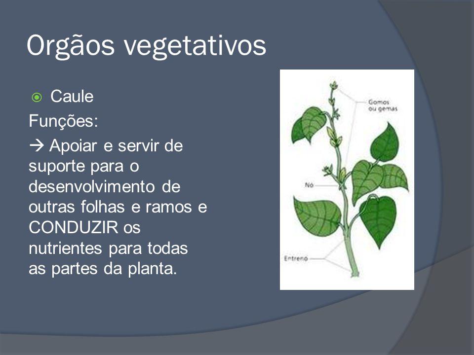Orgãos vegetativos Caule Funções: