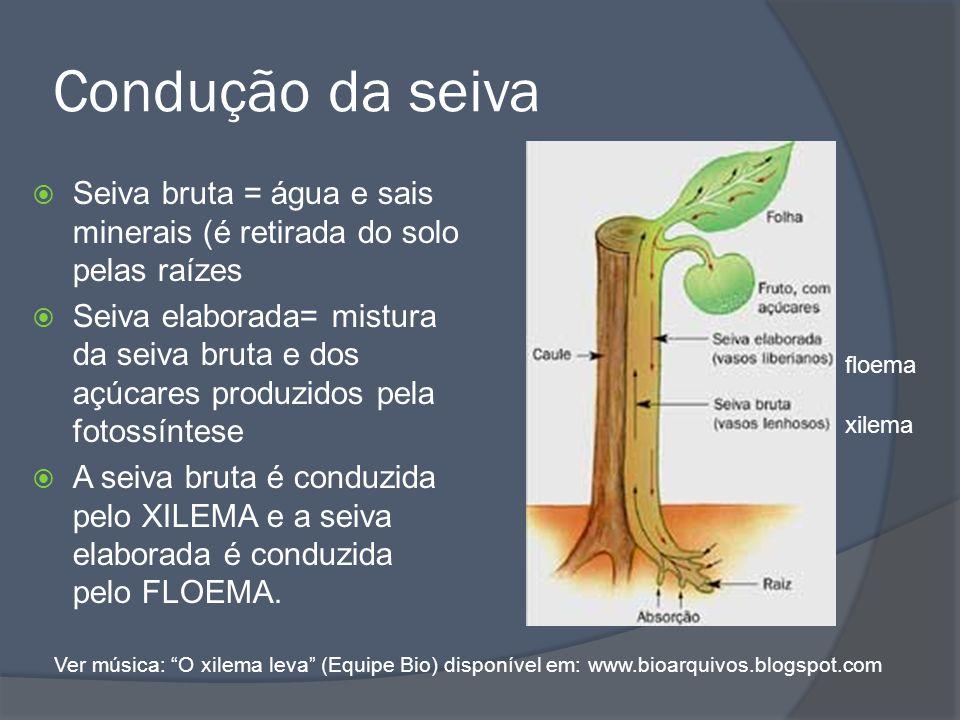 Condução da seiva Seiva bruta = água e sais minerais (é retirada do solo pelas raízes.
