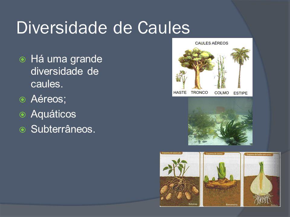 Diversidade de Caules Há uma grande diversidade de caules. Aéreos;