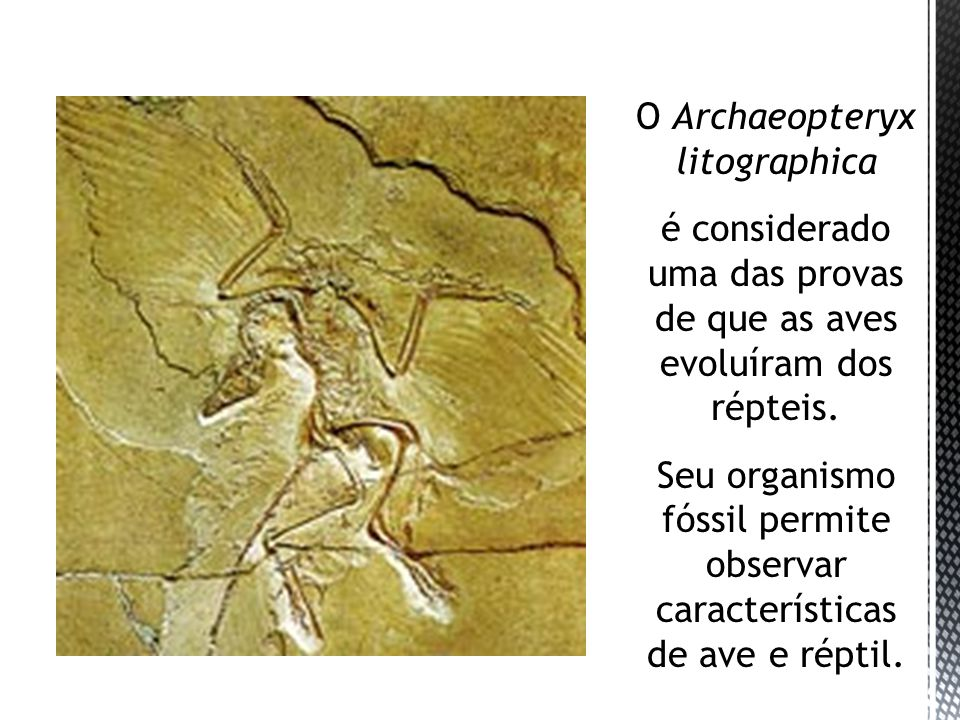 O Archaeopteryx litographica