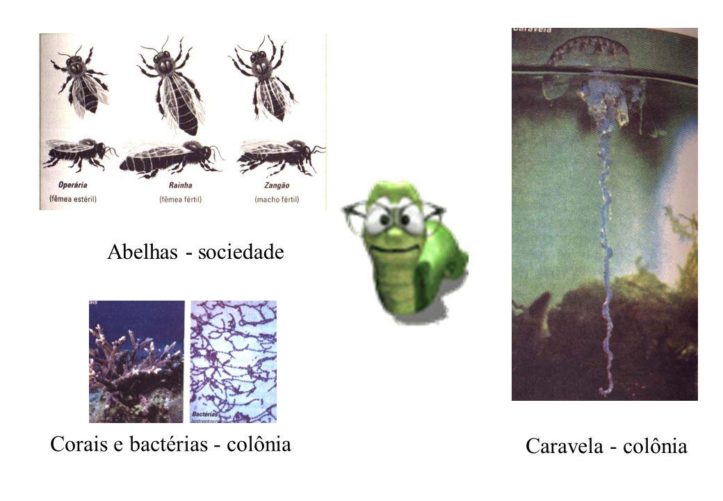 Abelhas - sociedade Corais e bactérias - colônia Caravela - colônia