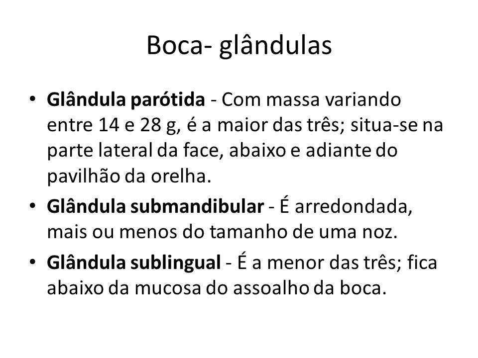 Boca- glândulas