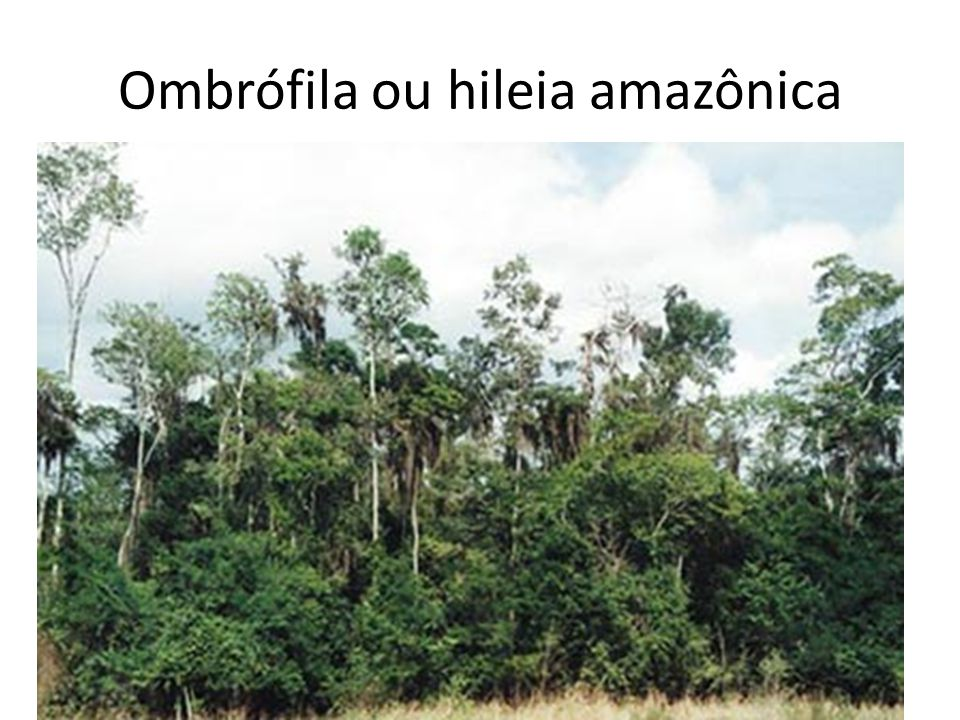 Ombrófila ou hileia amazônica