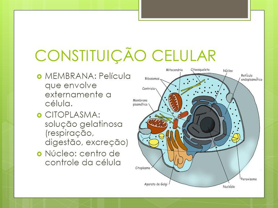 CONSTITUIÇÃO CELULAR MEMBRANA: Película que envolve externamente a célula. CITOPLASMA: solução gelatinosa (respiração, digestão, excreção)