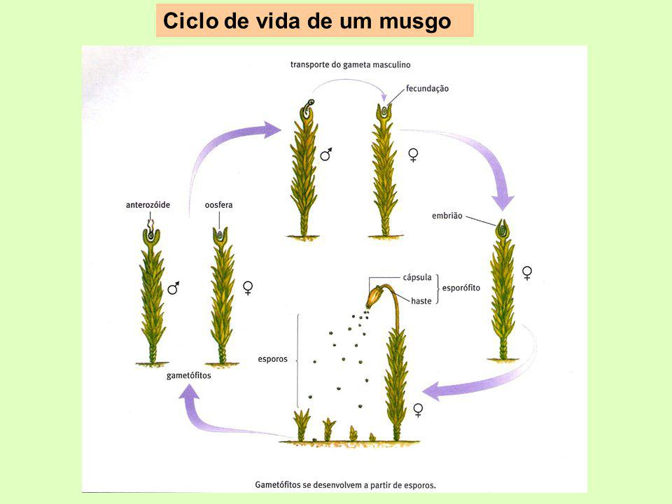 Ciclo de vida de um musgo