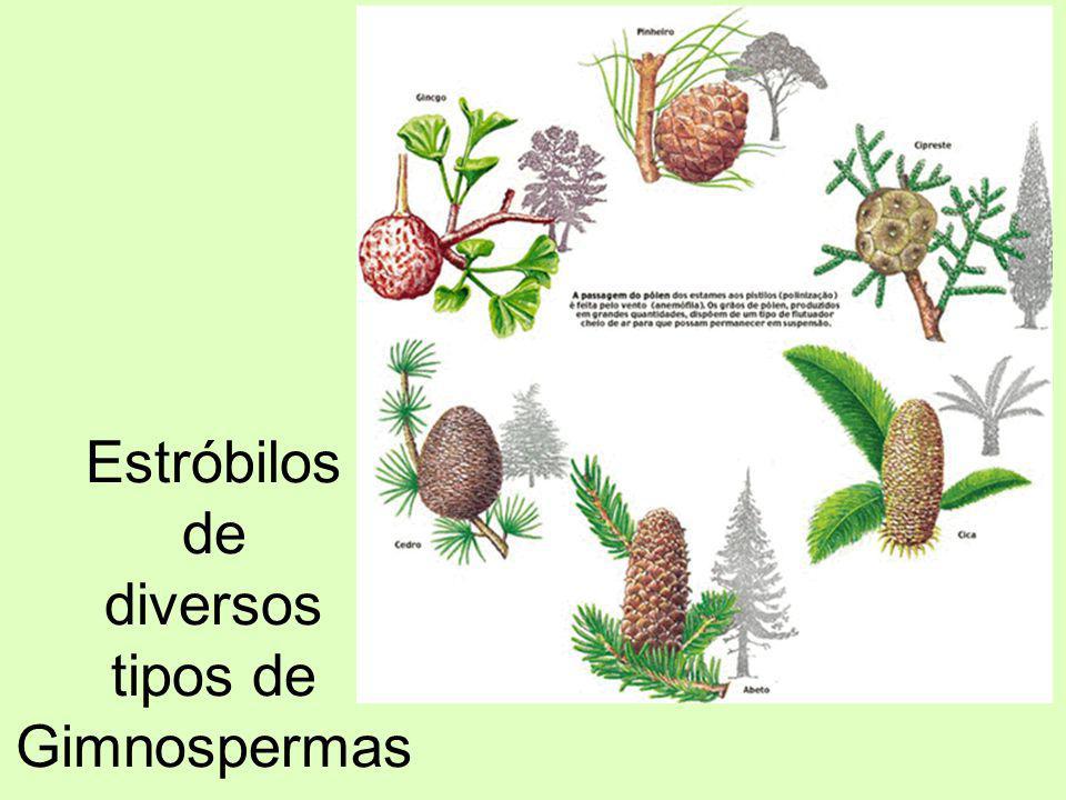Estróbilos de diversos tipos de Gimnospermas
