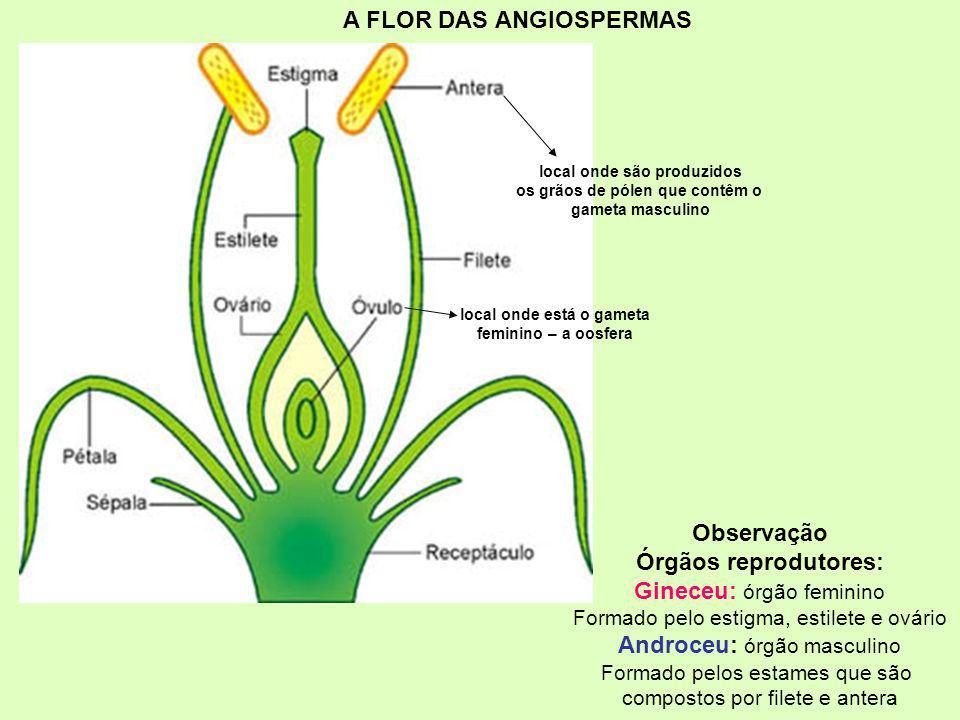 A FLOR DAS ANGIOSPERMAS Observação Órgãos reprodutores: