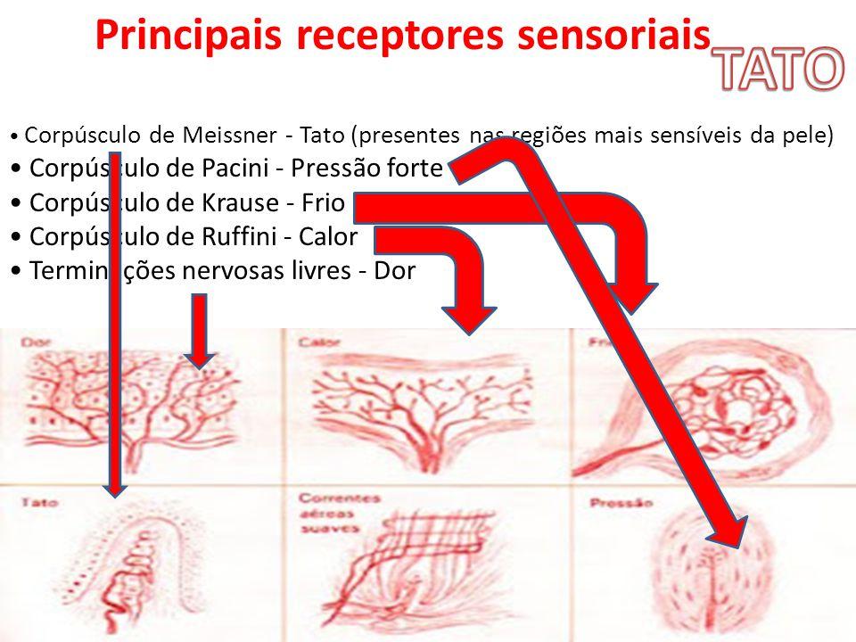 TATO Principais receptores sensoriais