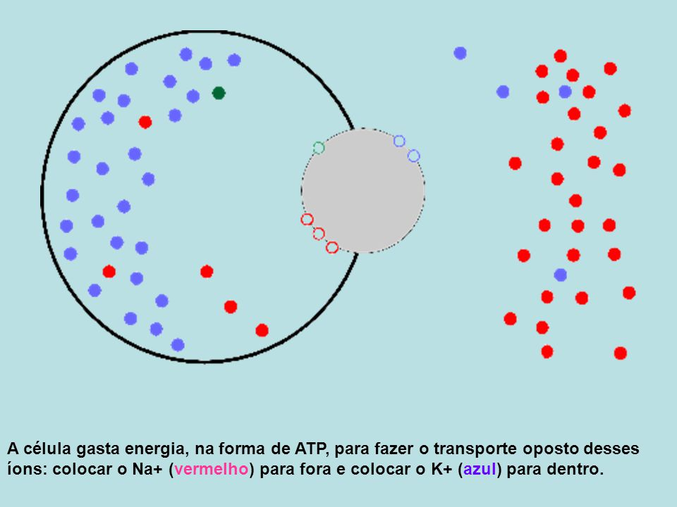 A célula gasta energia, na forma de ATP, para fazer o transporte oposto desses íons: colocar o Na+ (vermelho) para fora e colocar o K+ (azul) para dentro.