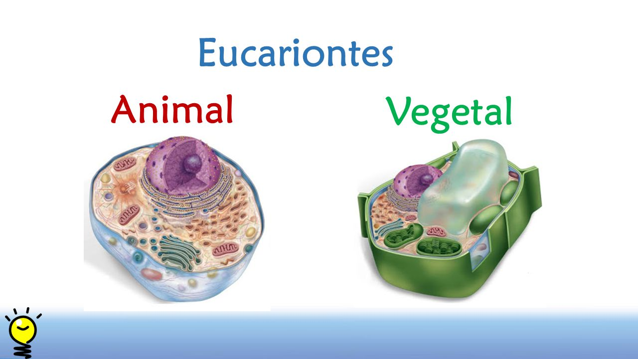Eucariontes Animal Vegetal