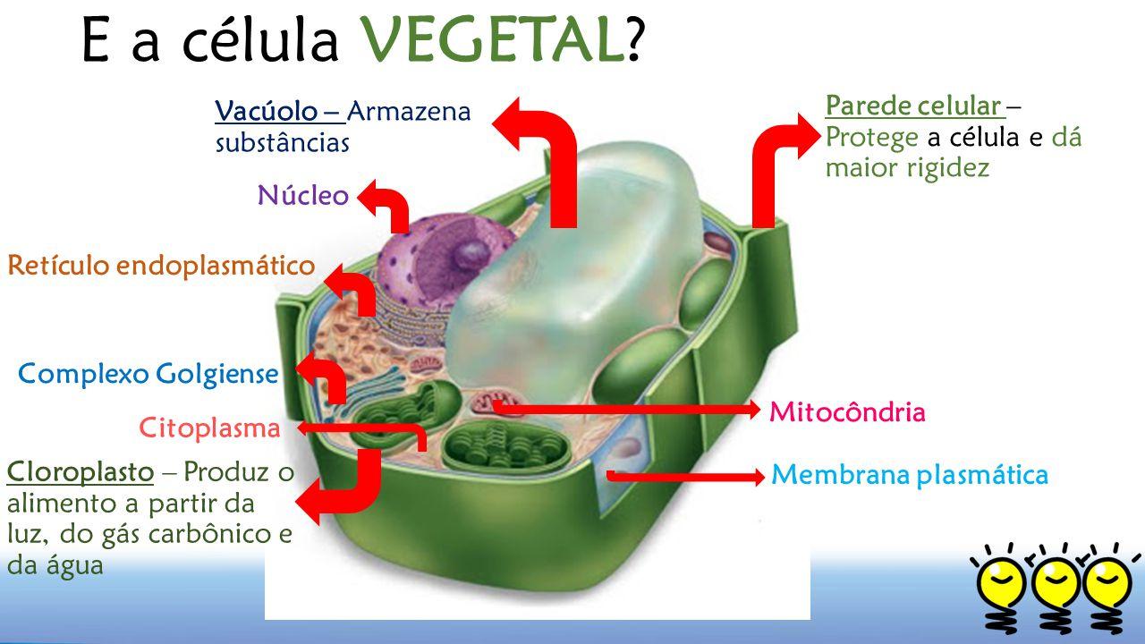 E a célula VEGETAL Parede celular – Protege a célula e dá maior rigidez. Vacúolo – Armazena substâncias.