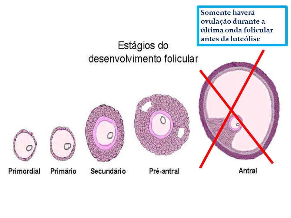 Somente haverá ovulação durante a última onda folicular antes da luteólise