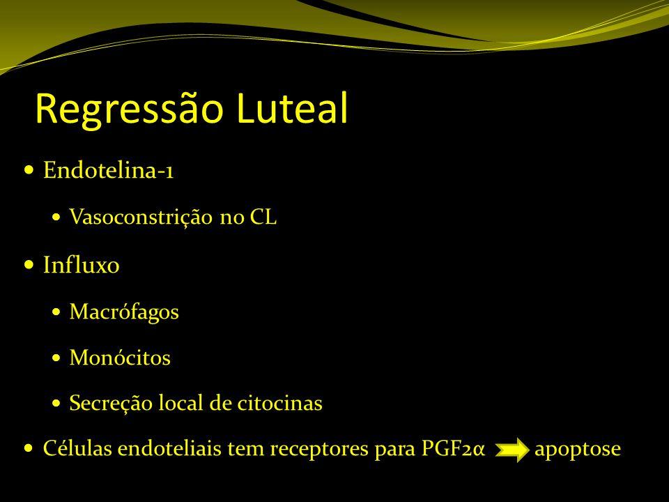 Regressão Luteal Endotelina-1 Influxo Vasoconstrição no CL Macrófagos
