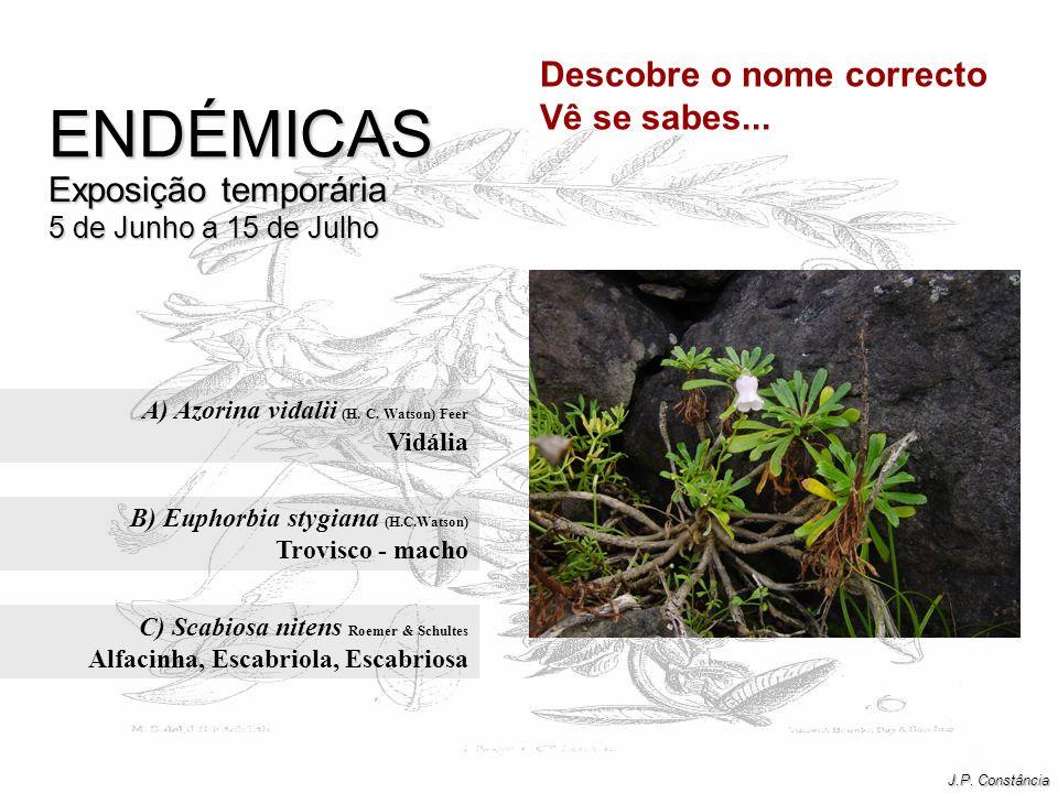 A) Azorina vidalii (H. C. Watson) Feer Vidália