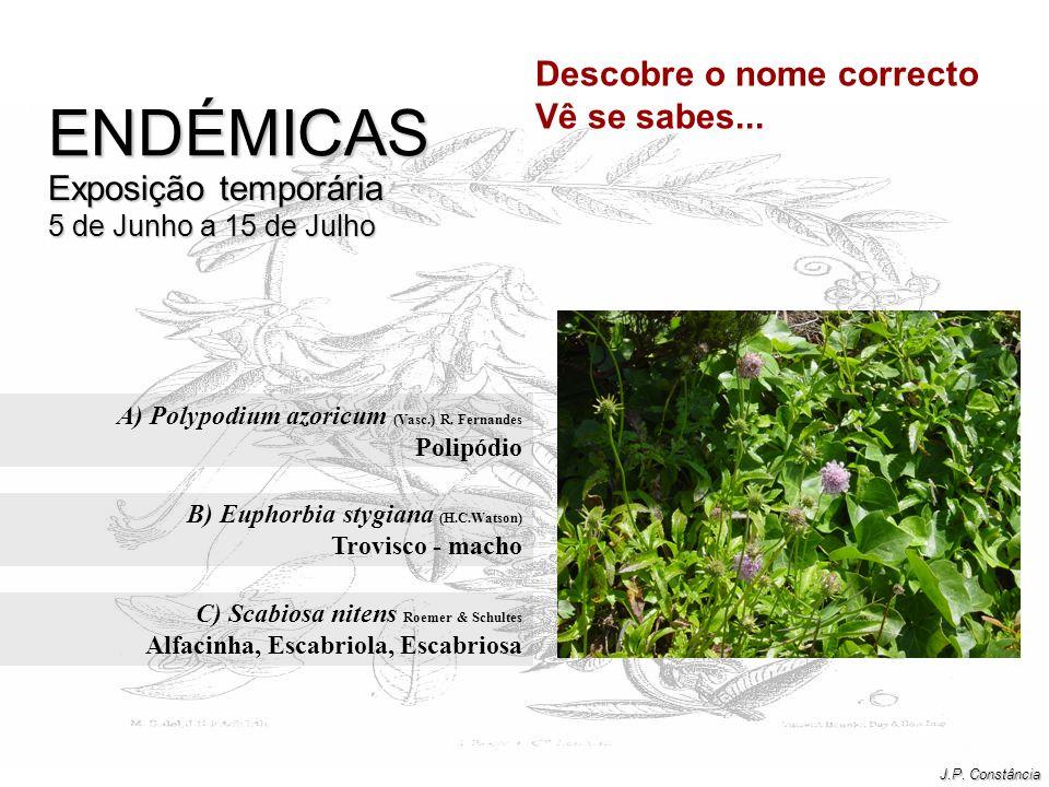 A) Polypodium azoricum (Vasc.) R. Fernandes Polipódio