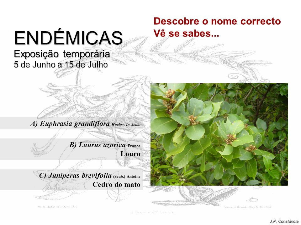 A) Euphrasia grandiflora Hochst. In Seub.
