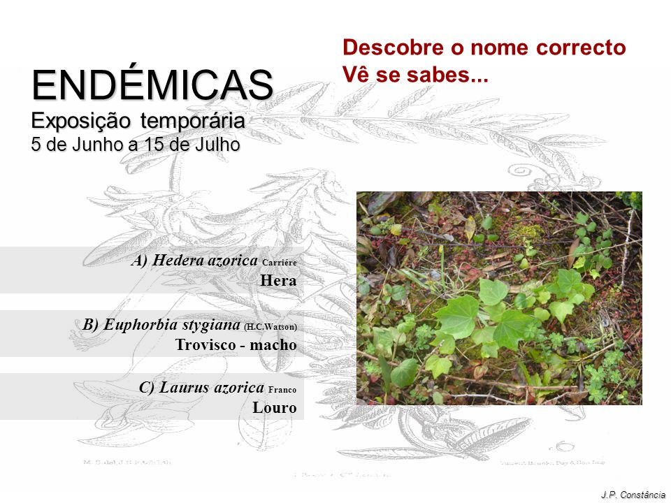 A) Hedera azorica Carriére Hera