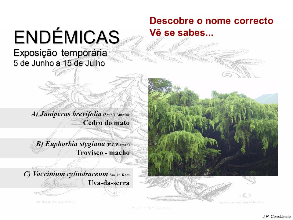 A) Juniperus brevifolia (Seub.) Antoine Cedro do mato