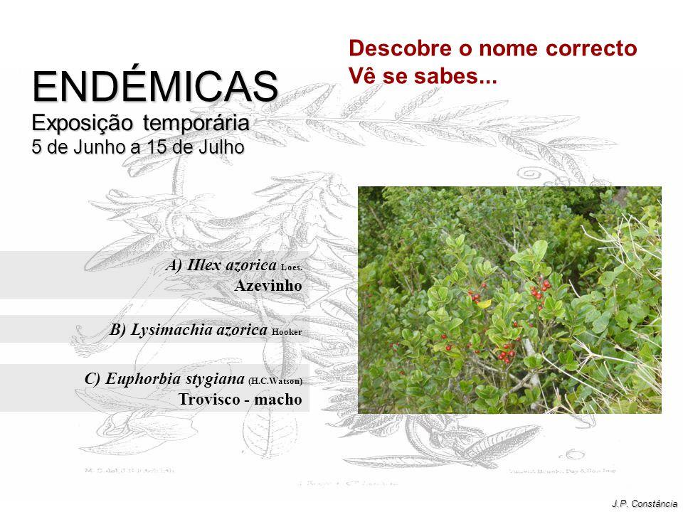 B) Lysimachia azorica Hooker