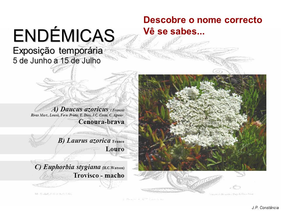 A) Daucus azoricus ( Franco) Cenoura-brava