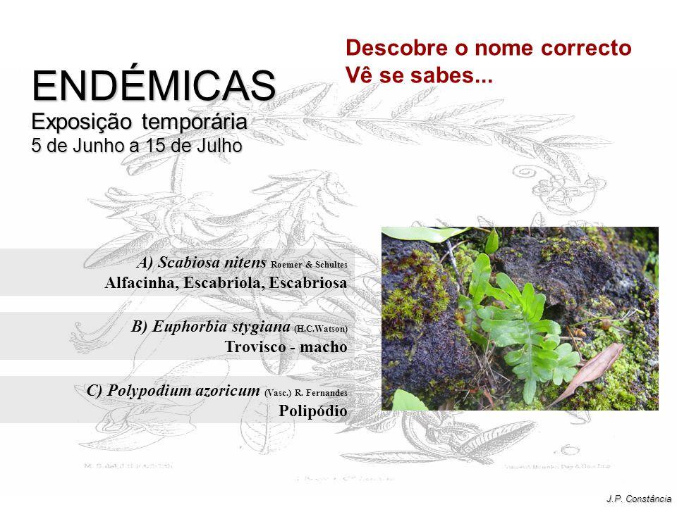 A) Scabiosa nitens Roemer & Schultes Alfacinha, Escabriola, Escabriosa