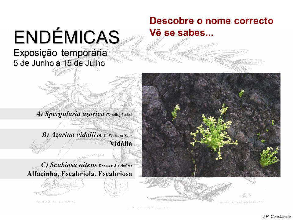 A) Spergularia azorica (Kindb.) Lebel