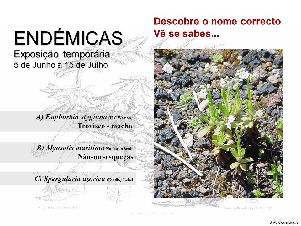 A) Euphorbia stygiana (H.C.Watson) Trovisco - macho