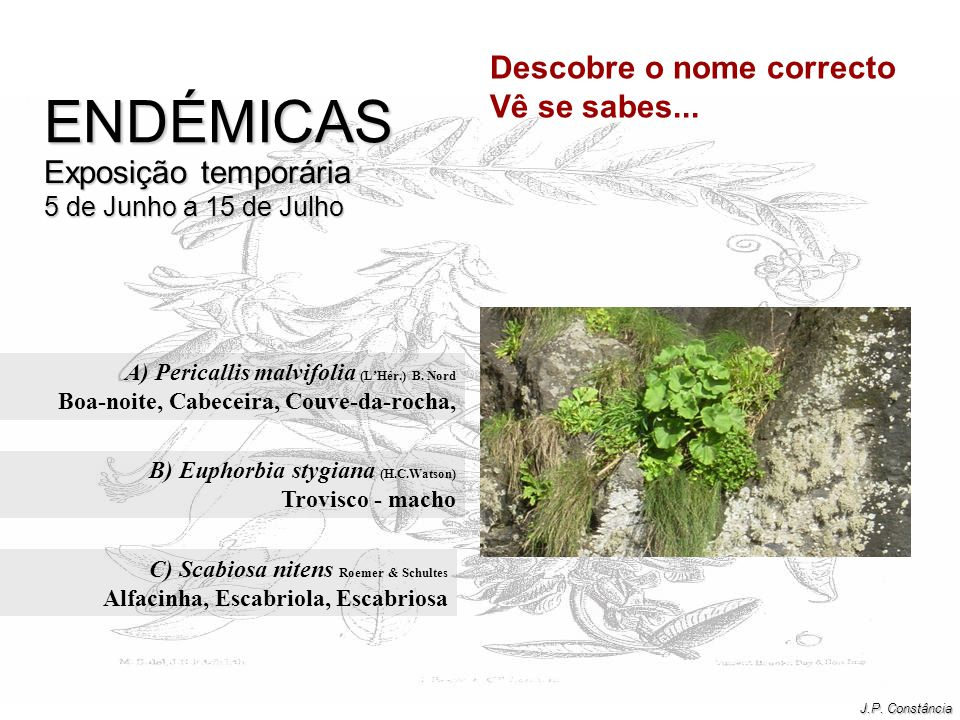 A) Pericallis malvifolia (L'Hér.) B. Nord