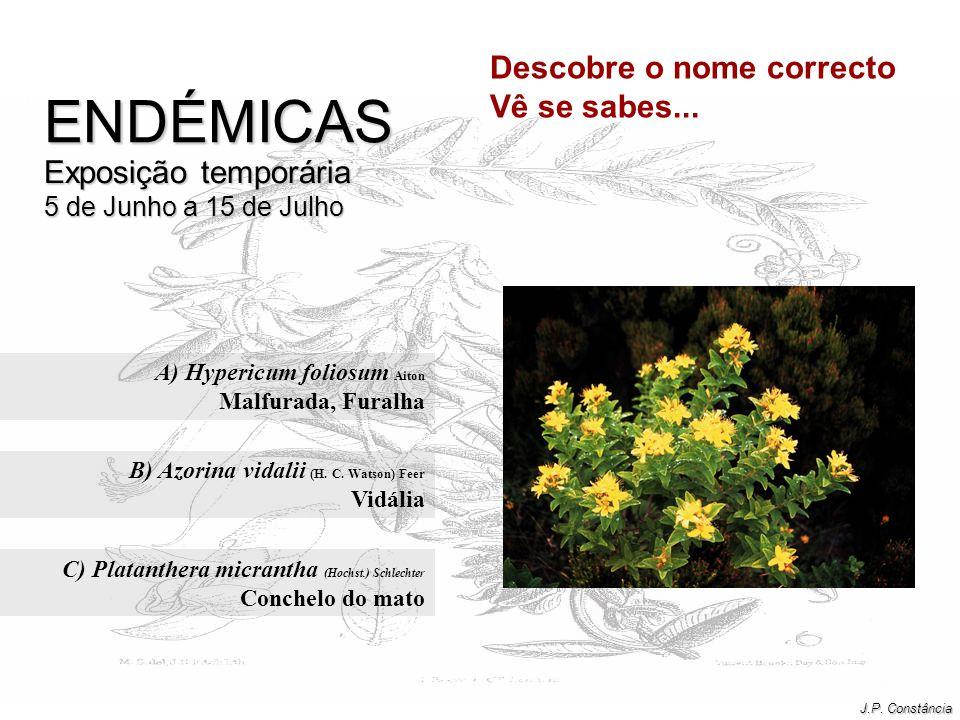 A) Hypericum foliosum Aiton Malfurada, Furalha