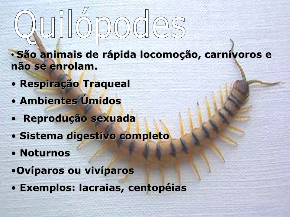 Quilópodes São animais de rápida locomoção, carnívoros e não se enrolam. Respiração Traqueal. Ambientes Úmidos.