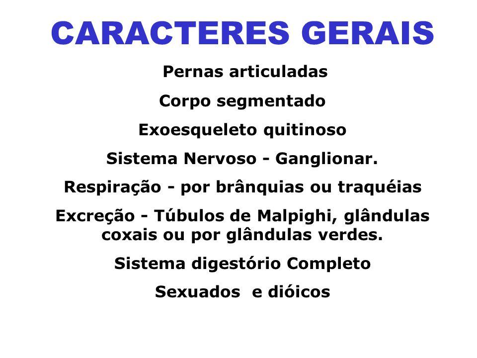 CARACTERES GERAIS Pernas articuladas Corpo segmentado