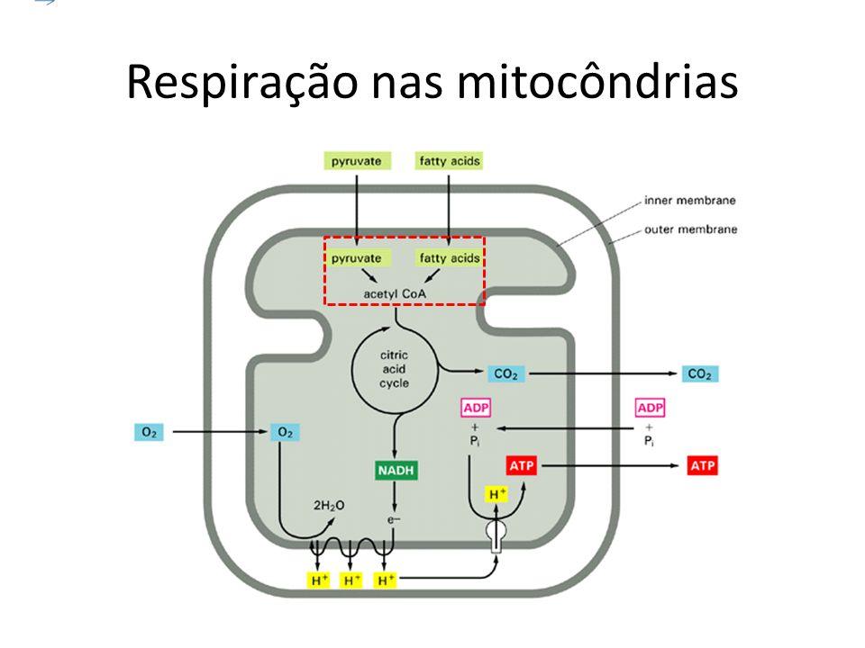 Respiração nas mitocôndrias