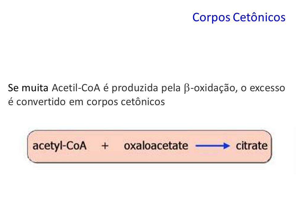 Corpos Cetônicos Se muita Acetil-CoA é produzida pela -oxidação, o excesso é convertido em corpos cetônicos.