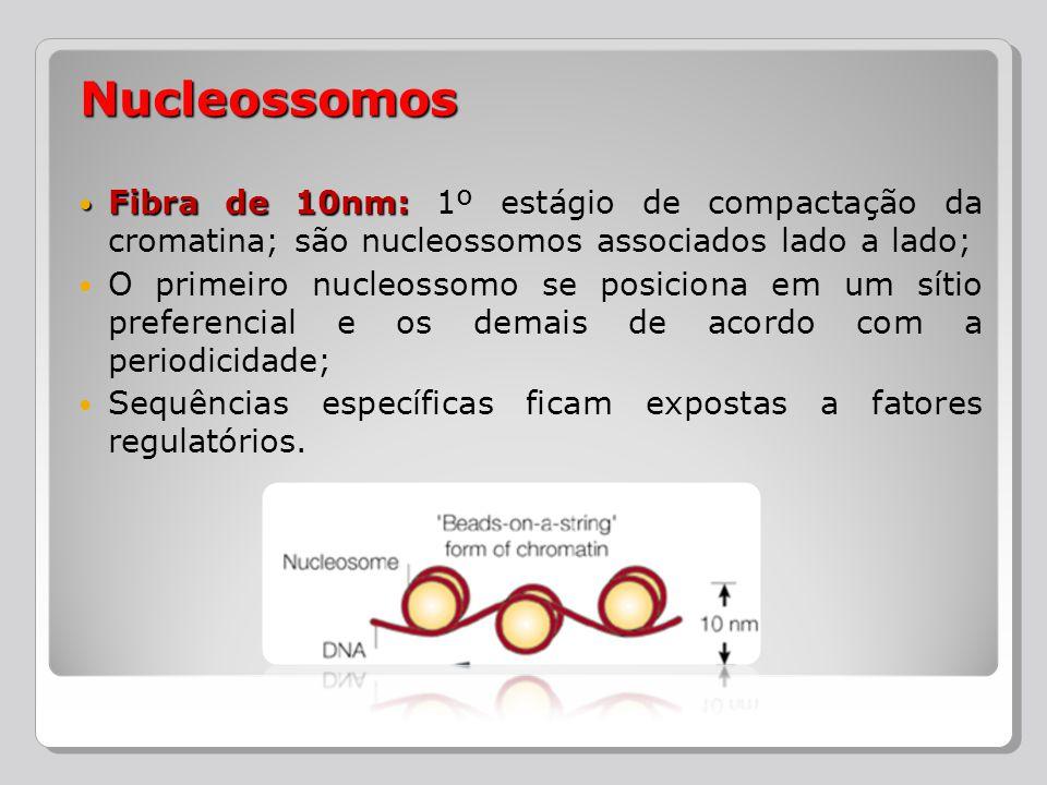 Nucleossomos Fibra de 10nm: 1º estágio de compactação da cromatina; são nucleossomos associados lado a lado;