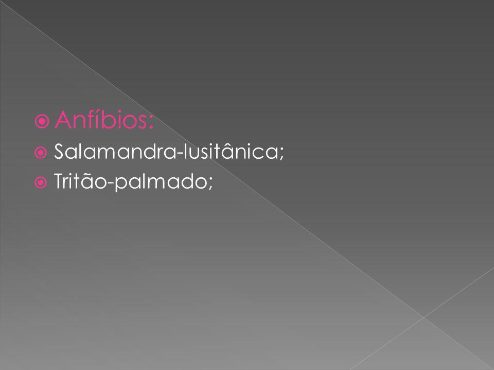 Anfíbios: Salamandra-lusitânica; Tritão-palmado;