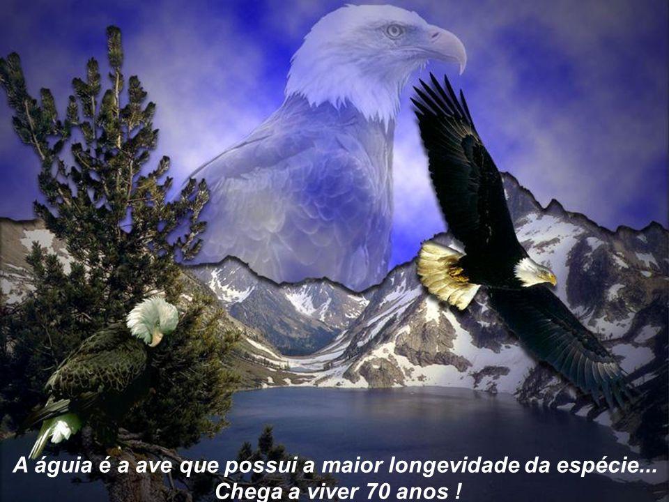 A águia é a ave que possui a maior longevidade da espécie...
