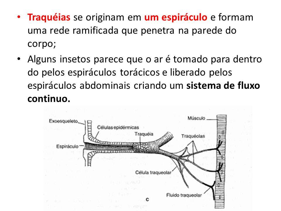 Traquéias se originam em um espiráculo e formam uma rede ramificada que penetra na parede do corpo;