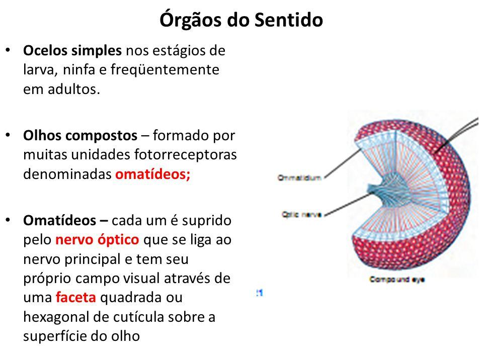 Órgãos do Sentido Ocelos simples nos estágios de larva, ninfa e freqüentemente em adultos.