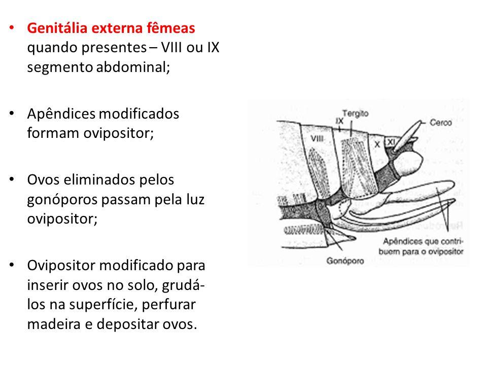 Genitália externa fêmeas quando presentes – VIII ou IX segmento abdominal;