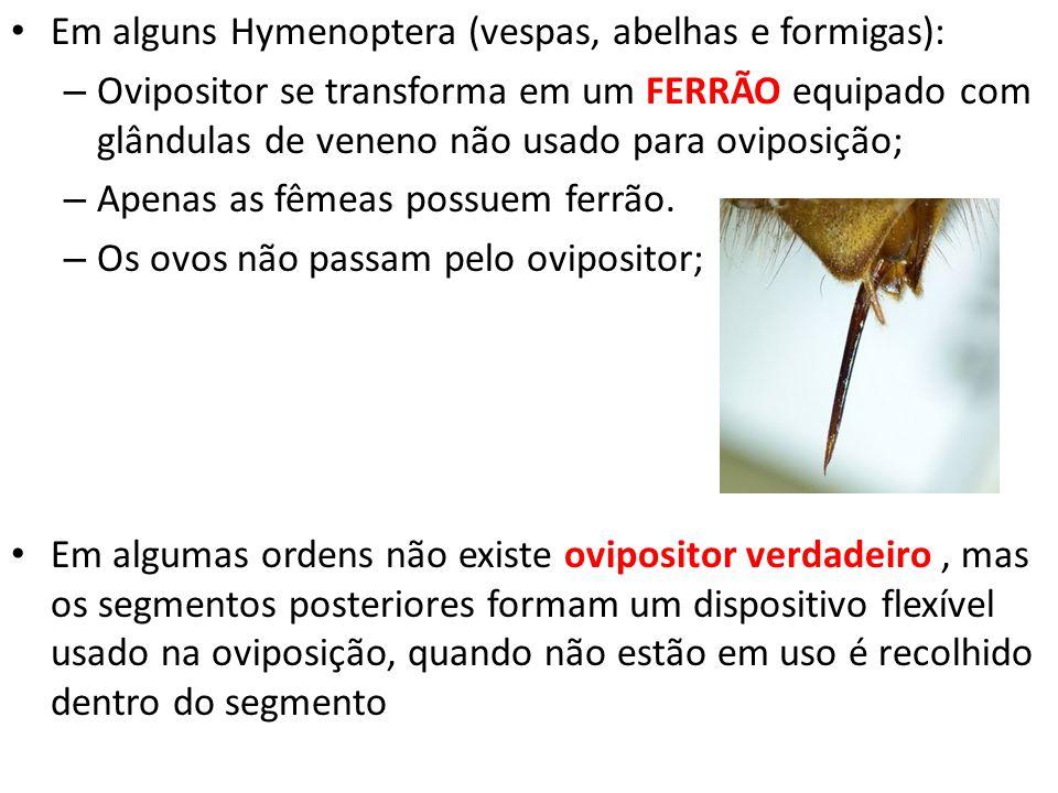 Em alguns Hymenoptera (vespas, abelhas e formigas):