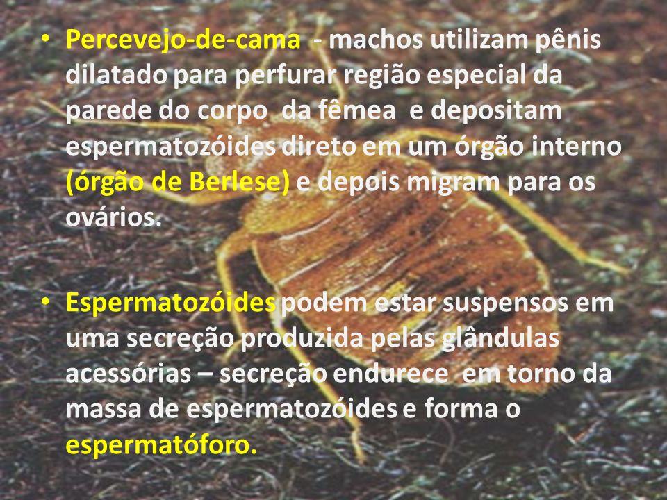 Percevejo-de-cama - machos utilizam pênis dilatado para perfurar região especial da parede do corpo da fêmea e depositam espermatozóides direto em um órgão interno (órgão de Berlese) e depois migram para os ovários.