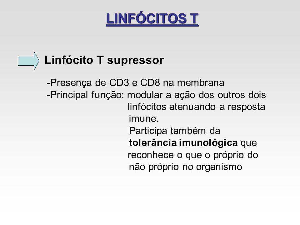 LINFÓCITOS T Linfócito T supressor Presença de CD3 e CD8 na membrana