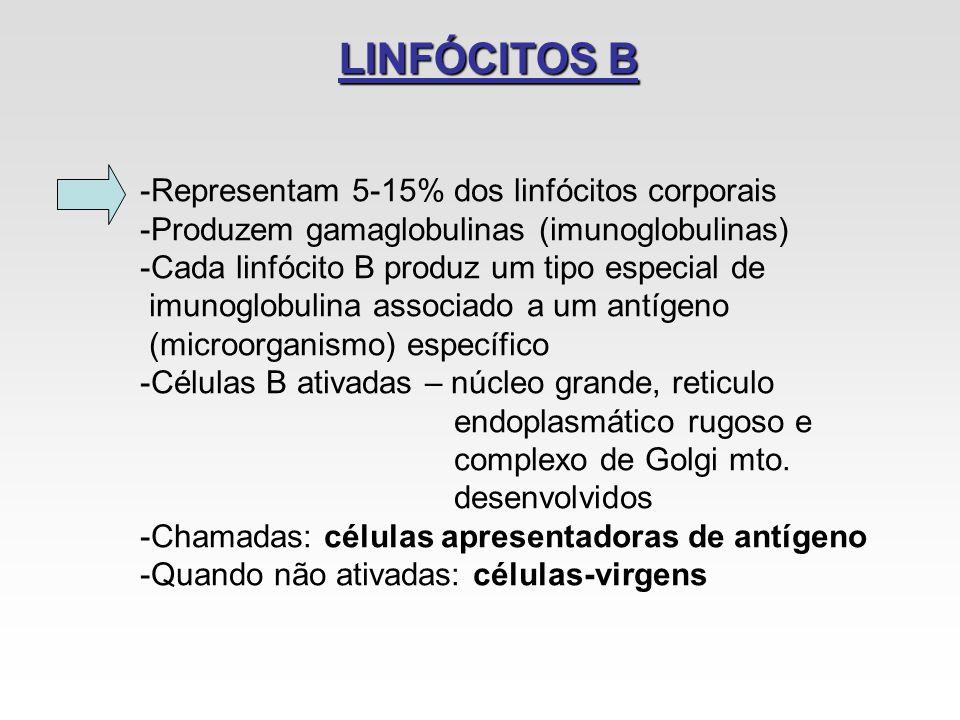 LINFÓCITOS B Representam 5-15% dos linfócitos corporais