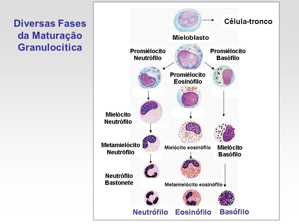 Diversas Fases da Maturação Granulocítica
